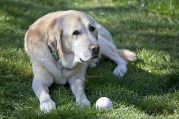 Faithful Labrador waiting for you with its ball
