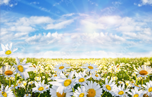 Foto op Canvas Poppy Springtime: field of daisy flowers with blue sky and clouds
