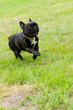 Happy french bulldog running across green grass