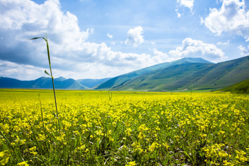 Field with Yellow Lentils Flowers at Castelluccio di Norcia