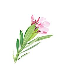 oleander L.