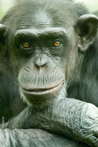 chimpanzee portrait
