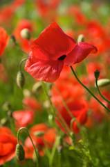a red poppy field