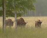 Captive-bred European bison. Red Book of protected animals poster