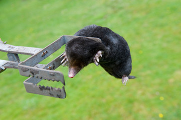 Mole in exterminator