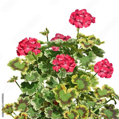 G ranium feuilles panach es photo libre de droits sur la banque d 39 images image - Geranium feuilles qui jaunissent ...