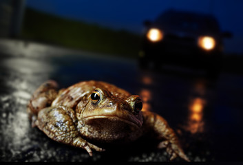 Common toad, European toad (Bufo bufo) on the road