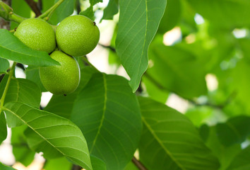 The green fruit of walnut