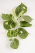 Tilia cordata / Tilia sylvestris / Tilleul à petites feuilles