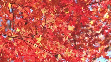 Autumn Leaves in Momiji mountain,Yamanashi,Japan_7