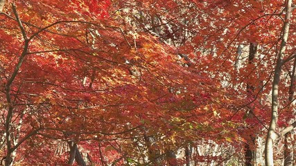 Autumn Leaves in Momiji mountain,Yamanashi,Japan_8