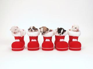 サンタのブーツに入った5匹のチワワの子犬