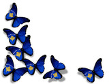Kosovo flag butterflies, isolated on white background poster