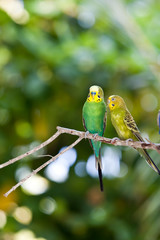 Budgerigars , shell parakeet on branch