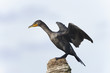 double-crested cormorant, phalacrocorax auritus