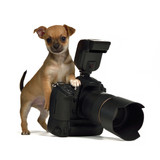 Chiuahua puppy with photo camera