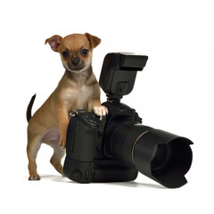 Chiuahua puppy with photo camera