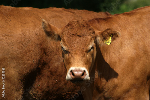 Brown well-fostered cattle