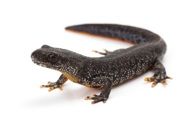 Great Crested Newt with it's head lifted