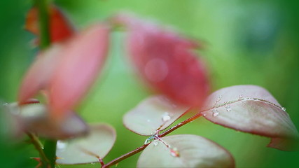 Roses Leaves rain drops rack focus