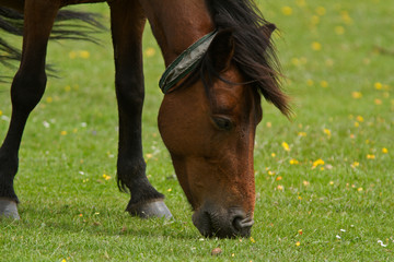 Wild New Forest Pony grazing