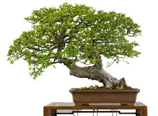 Alte chinesische Ulme als Bonsai-Baum
