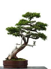 Alter Igel-Wacholder als Bonsai-Baum