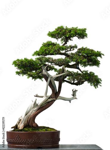 Plexiglas Bonsai Alter Igel-Wacholder als Bonsai-Baum