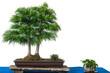 Chinesische Goldlärche (Pseudolarix) als Bonsai-Baum