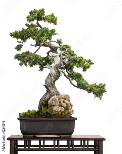 Foto op Canvas Bonsai Igel-Wacholder (Juniperus rigidus) als Bonsai-Baum