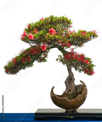 Spoed canvasdoek 2cm dik Azalea Rot blühende Azalee als Bonsai-Baum