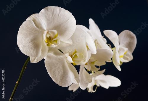 Fototapeten,orchidee,weiß,weisse blume auf gruenen hintergrund,sanftmütig