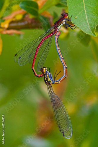 heart shaped damselflies