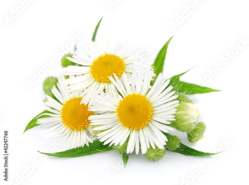 Fotobehang Lente chamomile with leaves