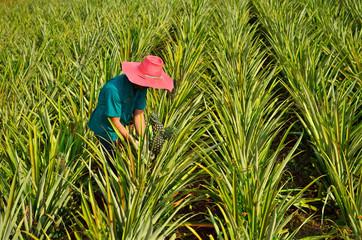 Farmer harvesting in pineapple farm