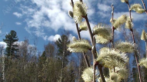 Fresh young catkins willow in spring