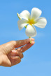 Frangipani flower on women hand with blue sky