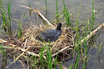 folaga nera nel nido
