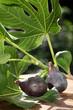 figues fraîches