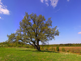 Single oak tree on the field in spring.