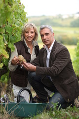 Wel dressed couple picking grapes in a vineyard