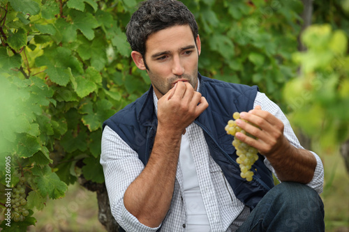 Man eating grapes in a vineyard