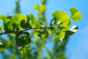 GINKGO BILOBA, PLANTA CON PROPIEDADES MEDICINALES