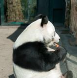 Panda in Berlin Zoological Garden poster