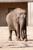 Elephant in Berlin Zoological Garden poster