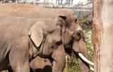 Couple of elephants in Berlin Zoological Garden poster