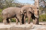 Elephants in Berlin Zoological Garden poster