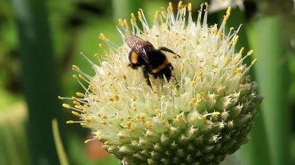Makroaufnahme einer Hummel auf ein Winterzwiebel Blüte