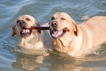 Couple of dogs in the sea with stick in their teeth