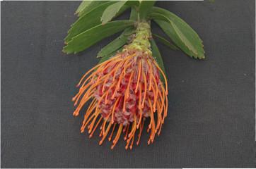 African Flower - orange